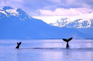 alaska-whales-usa